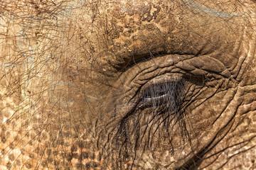 Tame Asian Elephant, Elephas maximus, Chitwan NP, Nepal