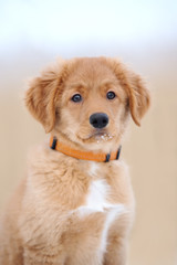 adorable toller puppy portrait outdoors in winter