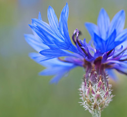 Blue tropical plant in natural garden, environment