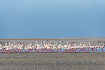 Greater Flamingo flock on the Heuningnes River Estaury, De Mond Nature Reserve, Western Cape, South Africa