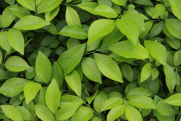 green leaves texture background  in garden pattern