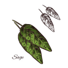 Sage seasoning plant vector sketch plant icon
