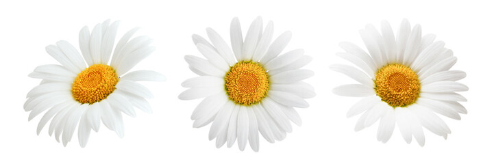 Photo sur Toile Marguerites Daisy flower isolated on white background as package design element