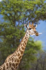 Giraffe chewing bones