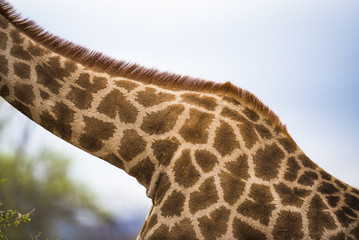 Giraffe skin patterns