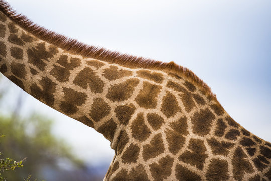 Giraffe skin patterns