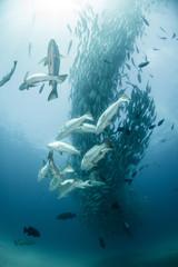 School of jack fish, underwater view, Cabo San Lucas, Baja California Sur, Mexico, North America