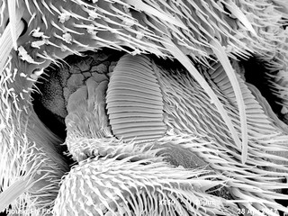 Foot of house fly (Muscidae) imaged in a scanning electron microscope, B&W full frame
