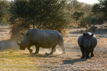Two white rhinoceroses (Ceratotherium simum) in the bush, Kalahari, Botswana