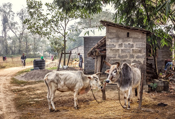 Rural Scene with Zebus, Chitwan, Terai, Nepal