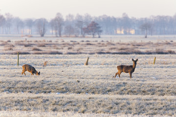 young and adult roe deer does on frozen meadow