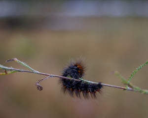 Furry caterpillar, butterfly larva walking on snow. Beautiful worm shaped insect with dense brown hair cover. Domestic silkmoth, Bombyx mori