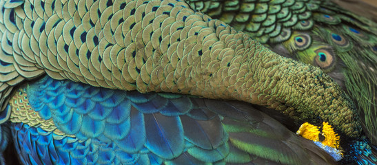 Peacock feathers in closeup (Green peafowl)