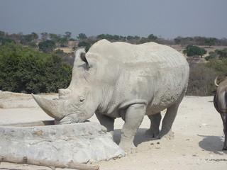 buffalo, animal, willife, nature, hena, lyon, girafe, bear, hipopotamus, zebra, monke, african, safari, tribu, zoo, park, ñu, tiger, selve, elephant, alpaca