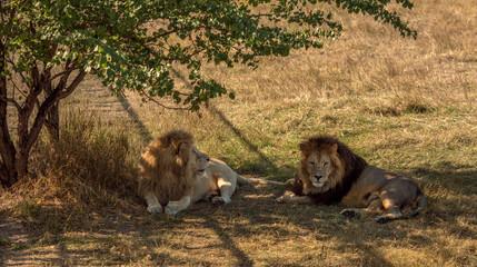 Wall Mural - lions rest to arid savannah