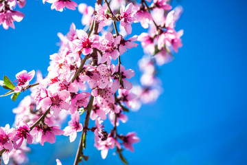 Beautiful blooming Apple trees in spring on a Sunny day. Soft focus, natural blur