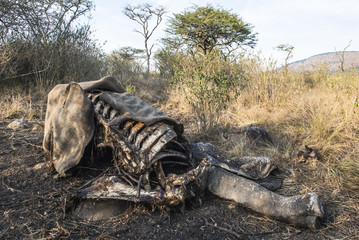 Poached White Rhino carcass