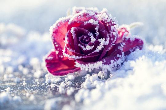 Rose im Schnee in einer makroaufnahme