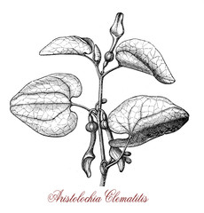 vintage engraving of aristolochia clematitis or European birthwort, twining plant with hear-shaped leaves and pale yellow tubular flowers, poisonous.