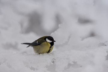 Closeup of a frozen and ruffled  great tit in winter