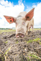 Pig on an organic farm in the uk
