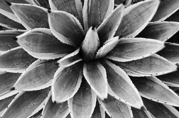 cactuses. black and white concept