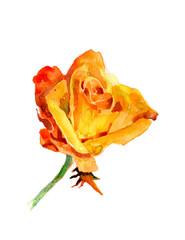 yellow rose hand illustration isolated on white background