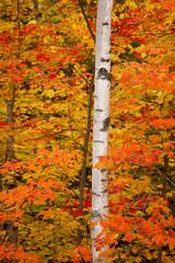 Birch Tree and Autumn Foliage