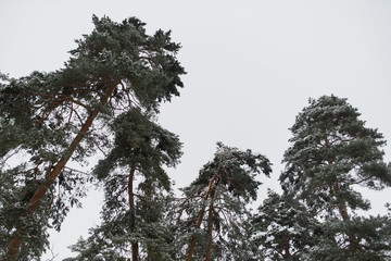 Winter forest. The branches of the pine are covered with snow.