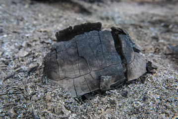 Angulate tortoise killed in fire in the forest