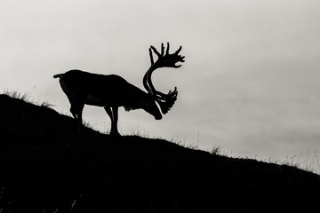 silhouette of a caribou in pond, Denali National Park, Alaska Wall mural
