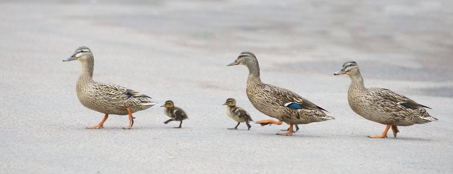 the ducks cross the road