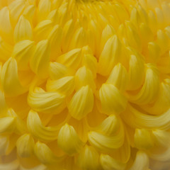 Yellow Chrysamthumum Petals