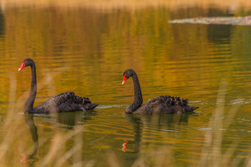 a rare exemplary of black swan exsisting in Italy /It is a water selvatic bird with black plumage and a red beak with a white tip
