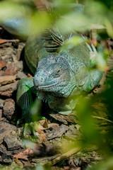 Iguane dans un parc zoologique