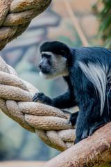 Colobe Guéréza dans un parc zoologique
