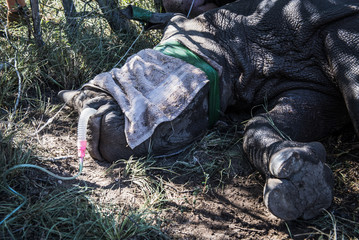Veterinary assistance being given to a sick White Rhino calf