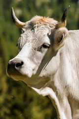 Portrait of a White Cow with Horns