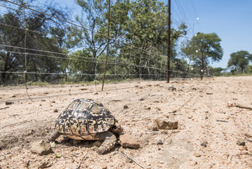 Leopard tortoise killed by an electrified boundary fence