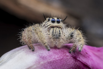 Super macro female Hyllus diardi or Jumping spider on pink flower