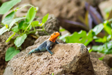 Lizard called agame settlers in the savannah of Amboseli Park in Kenya