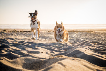 Two dogs running on a beach at sunset
