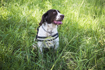 Counter poaching detection dog
