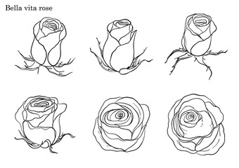 Rose vector set by hand drawing.Beautiful flower on white background.Rose art highly detailed in line art style.Bella vita rose for wallpaper.