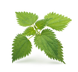 Nettle leaves isolated on white background.