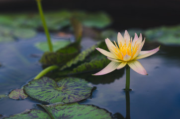 yellow lotus blooming in pond in top view with bee in pollen. important flower in buddhism. nature flower background.