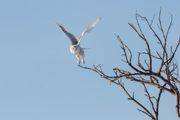 Affisch - Snowy Owl Flying While Hunting