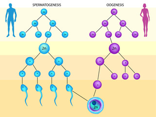 Spermatogenesis and Oogenesis.