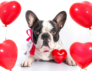 Cute french bulldog with heart shape balloons for valentines