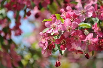 Sakura flowers closeup.